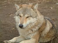 idling wolf