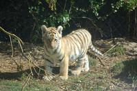 Tigers! 1