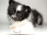 Pomeranian: A new addition