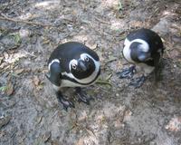 Snoopy penguin