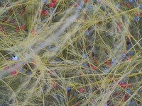 Asparagus Winter