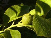 dewy lemon 1
