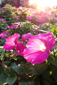 Petunias at sunrise