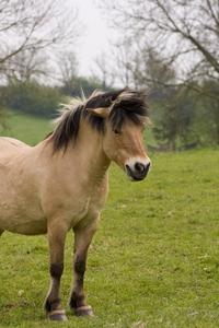 Przewalski or Dzungarian Horse