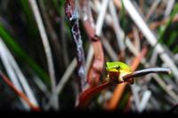 litoria fallax - Eastern Dwarf Green Frog