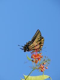 Xochicalco Butterfly