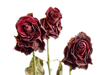 Withered roses 2