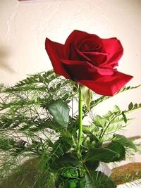 full bloomed rose