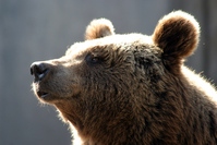 Bear Series 2