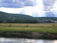 Ruminating elks