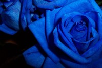 blue roses 1