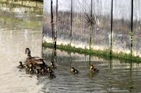 Little ducks 6