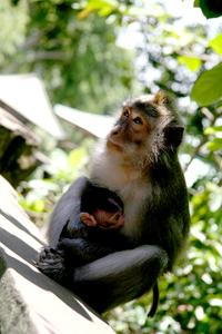 Alas Kedaton Monkey 04
