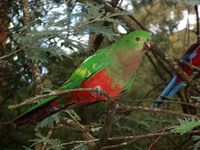 King Parrot 2