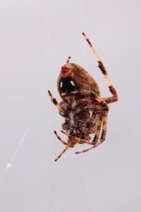 Orb Weaver Spider 2