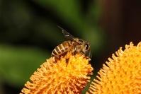 Wild Honey Bee(s) 5