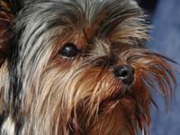 yorkie dog 4