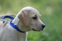 Labrador puppy 2