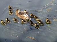 Little ducks 3