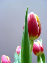 shy tulip