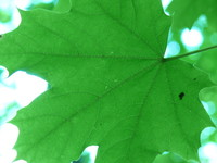 clone leaf