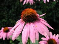 echinacea flower closeup