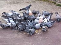 Pigeons eating seed