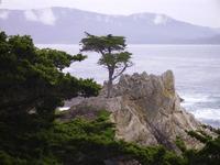 Lone Cypress Tree 2