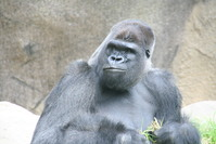 gorilla smirk