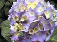 hydrangea flower head