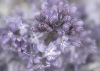 Dreamy Lilac 2