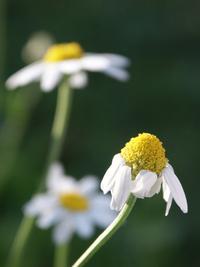 La Fleur du Mort