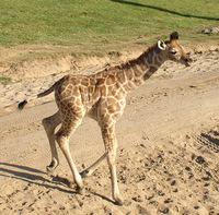 Baby Giraffe 1