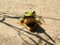 Happy Frog 1