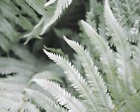 Ferns 1