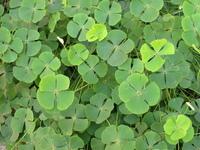 Šťastie - lúka plná zelených štvorlístkov - veľa zelených štvorlístkov