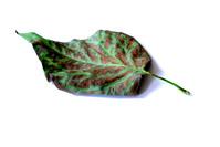 leaf_frontside