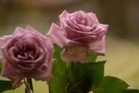 "TVDH ""Pink Rose"