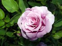 Roses Spring 2004 series 3