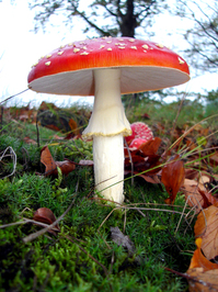 muscular mushroom