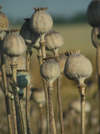 Poppy heads 6