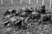buffaloes cattle