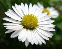 Daisy//Margarita