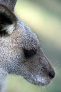 Kangaroo @ Australia Zoo