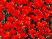 Tulip time 2006 4