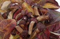 Chestnut Boletus Fungi 1