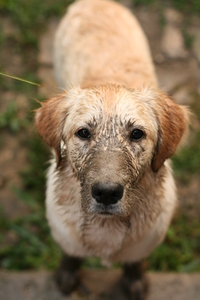 muddy golden retriver 1