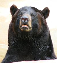 Louisiana Black Bear
