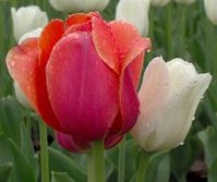 Ottawa Tulip Festival 13