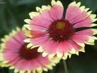 redish yellow flower